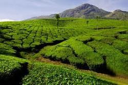 Ожидается рекордное подорожание чая