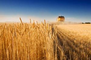 Украина исчерпает возможности экспорта пшеницы в ноябре