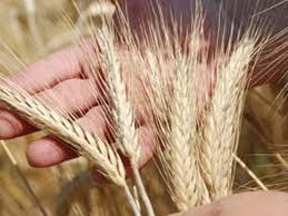 Кто виноват в хаосе на зерновом рынке
