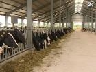 На поддержку скотоводства в бюджете-2013 выделили 650 млн грн