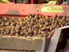 В этом году аграрии соберут 23 млн т картофеля