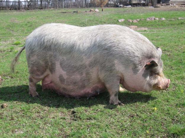 Как вырастить свинку