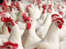 Украинцы променяли сало на курятину