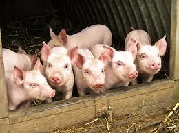 Из-за чумы запрещен ввоз мяса из России