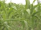 Зернотрейдеры просят разъяснить ситуацию с экспортом кукурузы в Китай