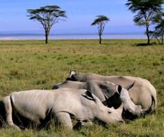 Рынок носорогов - новаторский аукцион в Южной Африке