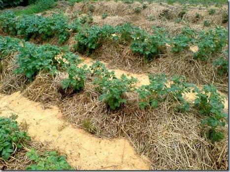 Экономически выгоднее, когда картофель выращивают агроформирования, которые опираются на научные рекомендации