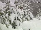Средняя стоимость елки накануне праздников составит 50 грн