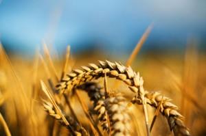Почему Украина и Россия не стали ограничивать экспорт пшеницы