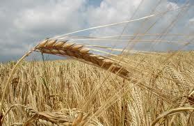 В начале 2011 года Украина может отменить квоты на экспорт зерна