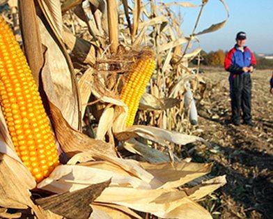 Россия в скором времени перейдет на ГМО зерновые
