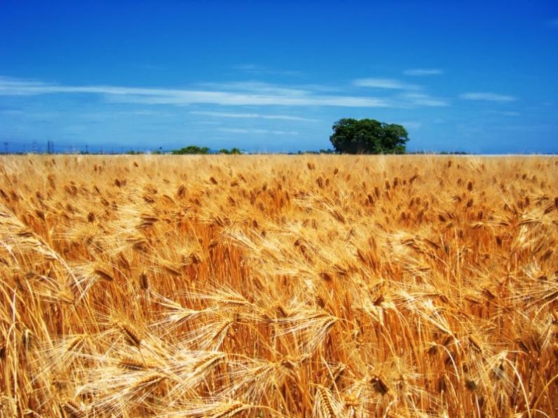 Зерноводство становится прибыльным