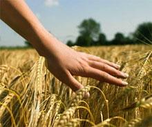 Мировые цены на пшеницу растут